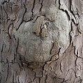 Platane, sycamore tree - panoramio.jpg