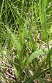 Platanthera dilatata v leucostachys base.jpg