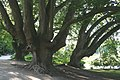 Platanus orientalis 0bJPG.jpg
