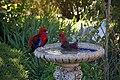 Platycercus elegans -Canberra, Australia -garden bird bath-8a.jpg