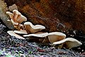 Pleurotus ostreatus, (47641438201).jpg
