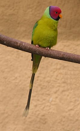 Plum-headed Parakeet (Psittacula cyanocephala)-2cp.jpg