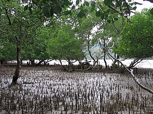 Pneumatophore aerial roots in mature mangrove and mudflats at Tibar, and extensive mature mangrove patch (8-10 m tall) Dili Timor-Leste 2.jpg