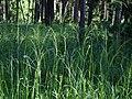 Poa palustris (6134892432).jpg