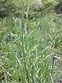 Poa trivialis subsp. trivialis sl28.jpg