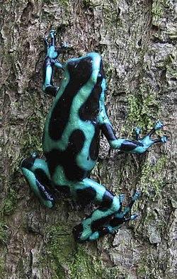 Poison dart frog panama.jpg