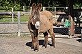 Poitou Donkey 2853.jpg
