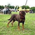 PolishScenthound-ChPl DRAN Goniec Pomorski wl M Dytel foto 1.jpg
