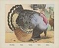 Pollo d'India. Dindon. Truthahn. Turkey. Kalkoen (titel op object), RP-P-OB-201.037.jpg