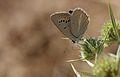 Polyommatus theresiae (Female) - Saimbeyli Mavisi.jpg