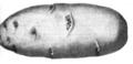 Pomme de terre rose hâtive Vilmorin-Andrieux 1883.png