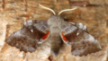 Poplar hawk moth (42690318902).png