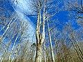 Poplars - panoramio (6).jpg