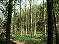 Poplars in Great Britain's Wood - Sevenoaks - geograph.org.uk - 269757.jpg