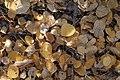 Populus tremuloidesLeaves.jpg