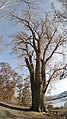 Populus trichocarpa old growth tree in very early spring.jpg