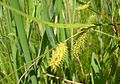 Porcupine Sedge or Bottlebrush Sedge (Carex hystericina) in wet meadow at the Morton Arboretum - Flickr - Jay Sturner.jpg
