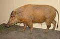 Potamochoerus porcus stuffed.jpg