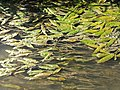 Potamogeton nodosus sl21.jpg