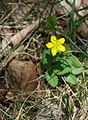 Potentilla freyniana - Flickr - odako1.jpg