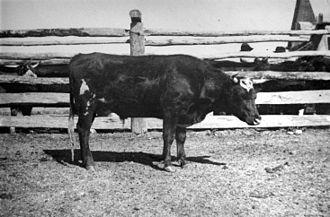 Mundoolun, Queensland - Tick Fever No. 2 Steer Mundoolun Experiments, 1897