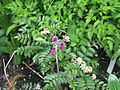 Primula secundiflora ^ Sorbus poteriifolia - Flickr - peganum (1).jpg