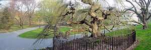 Marianne Moore - The Camperdown elm in Prospect Park, which benefits from a fund established in Moore's will