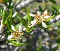 Prunus fasciculata 9.jpg