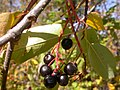 Prunus virginiana (5069894416).jpg