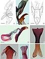 Prymnotomis cecidicola (10.3897-zoologia.36.e34604) Figures 9–16.jpg