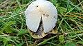 Psathyrella candolleana gljiva (2).jpg