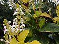 Pseuderanthemum carruthersii reticulatum.jpg
