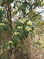 Psydrax odorata flowers and foliage.jpg