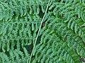 Pteridium aquilinum 4 - Putney Heath Common 2011.08.02.jpg