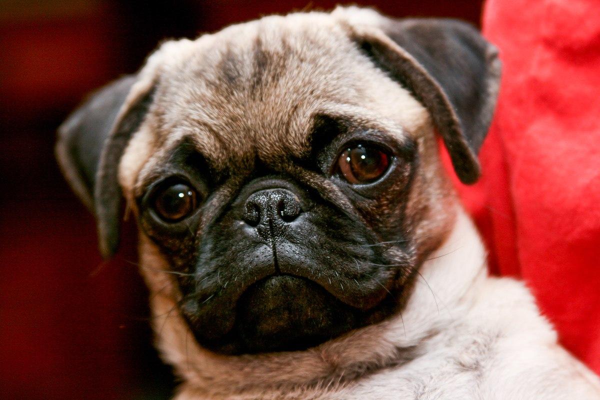 Find Puppies Pug For Sale In Belgium