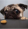 Pugh dog.jpg