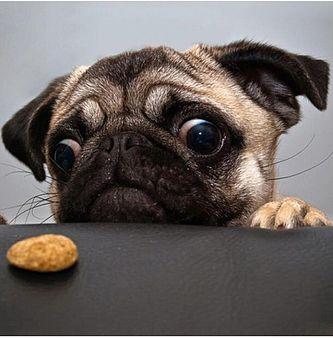A pug, who looks very hungry, stares longingly at a cookie, on a table.