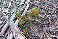 Pultenaea procumbens (5121808837).jpg