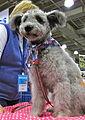 Pumi dog puppy (8109928553).jpg