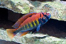 Pundamilia (Haplochromis) nyererei-uros.jpg
