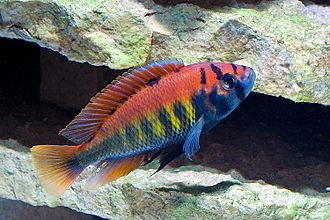 Speciation - Cichlids such as Haplochromis nyererei diversified by sympatric speciation in the Rift Valley lakes.
