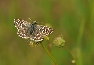 <i>Pyrgus melotis</i> Species of skipper butterfly genus Pyrgus
