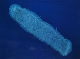 Zooid - Pyrosoma atlanticum, a tunicate, is a colony of zooids