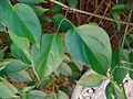 Pyrostegia venusta bifoliolate leaf.jpg