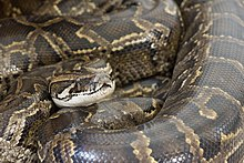 Python bivittatus (30854313993).jpg