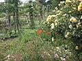 Queen Mary's Gardens P6110011.JPG