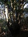 Quercus acuta-Mt.Taisyaku-Kobe,アカガシ(神戸帝釈山).JPG
