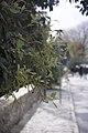 Quercus ilex-3409.jpg
