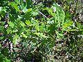 Quercus lobata-7.jpg