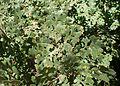 Quercus lobata kz4.jpg